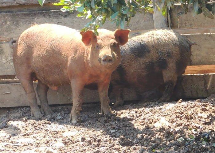 como criar porcos