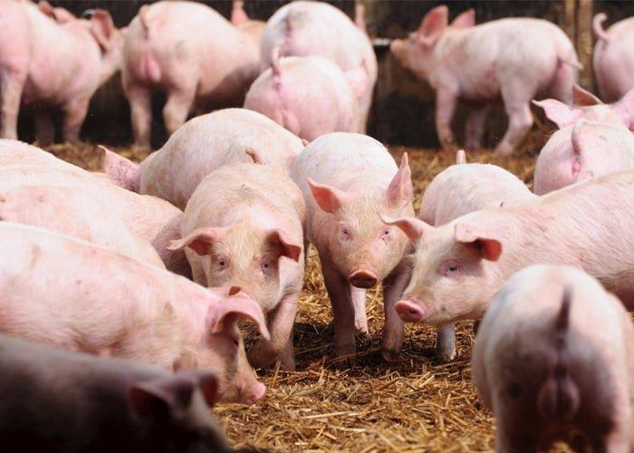 como criar porcos e ganhar dinheiro