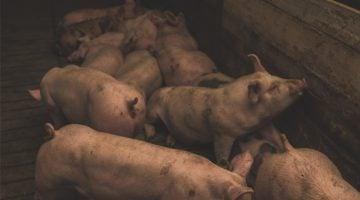 criação de porcos para engorda