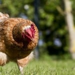 Como criar galinha caipira poedeira