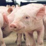 Como montar uma granja de porcos