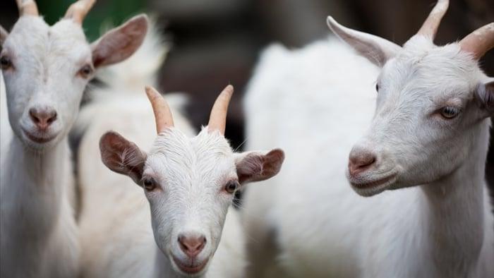 Criação de cabras leiteiras