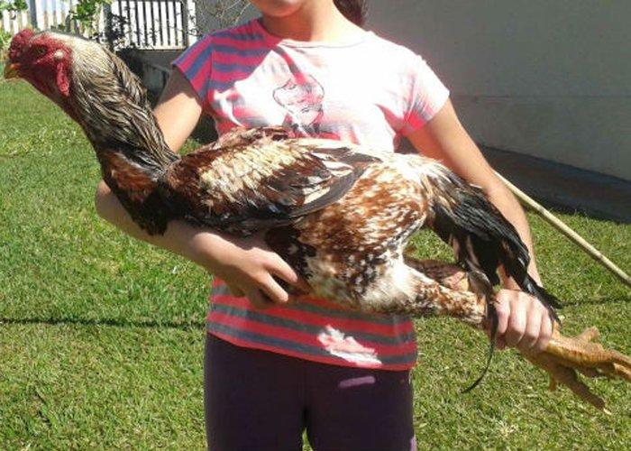 Como criar galinha caipira gigante