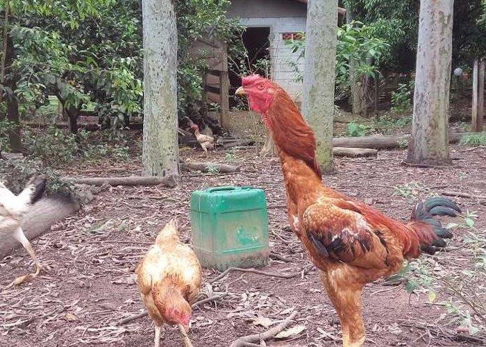 criar galinha caipira gigante