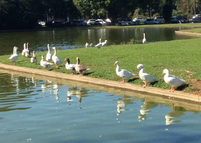 como iniciar uma criação de patos