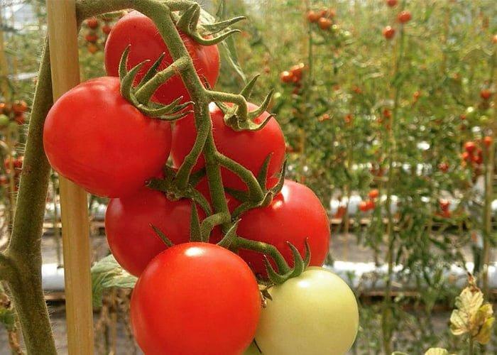 como montar uma plantação de tomate