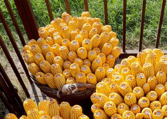 plantar milho