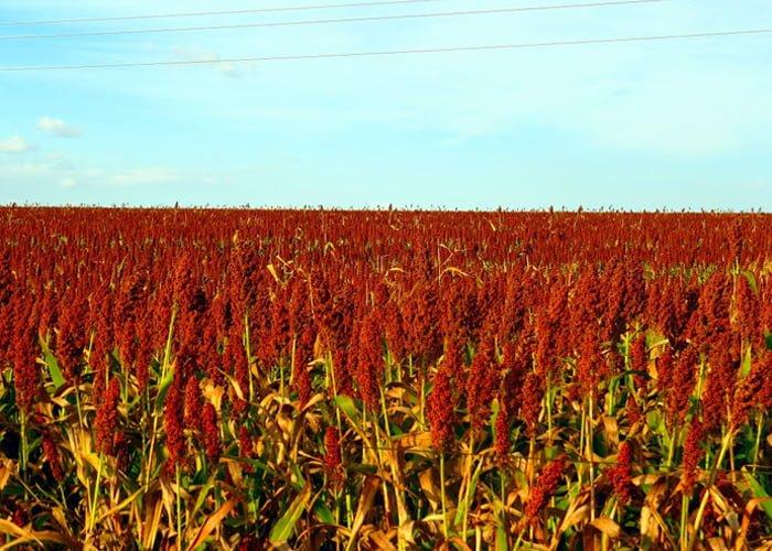 plantação de sorgo