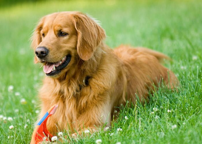 criar cachorros de raça dá dinheiro