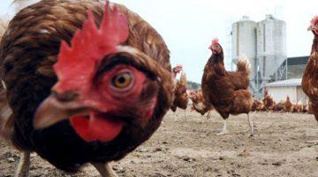 fazer ração para galinha poedeira