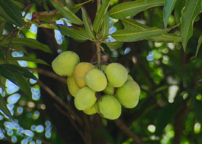 como começar um pomar de frutas variadas