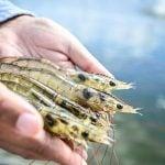Criação de camarão de água salgada