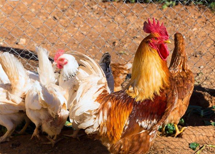 Instalações para criação de galinhas poedeiras