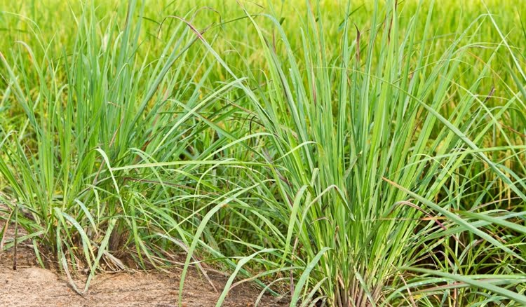 Plantar capim santo em 1 hectare de terra