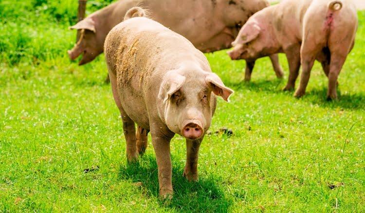 criar porcos em terreno pequeno