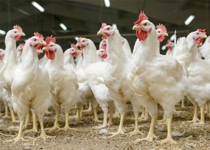 Qual o lucro de uma granja de frangos