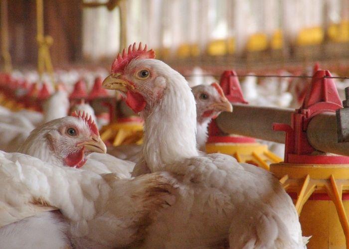 Como criar frango para a Sadia